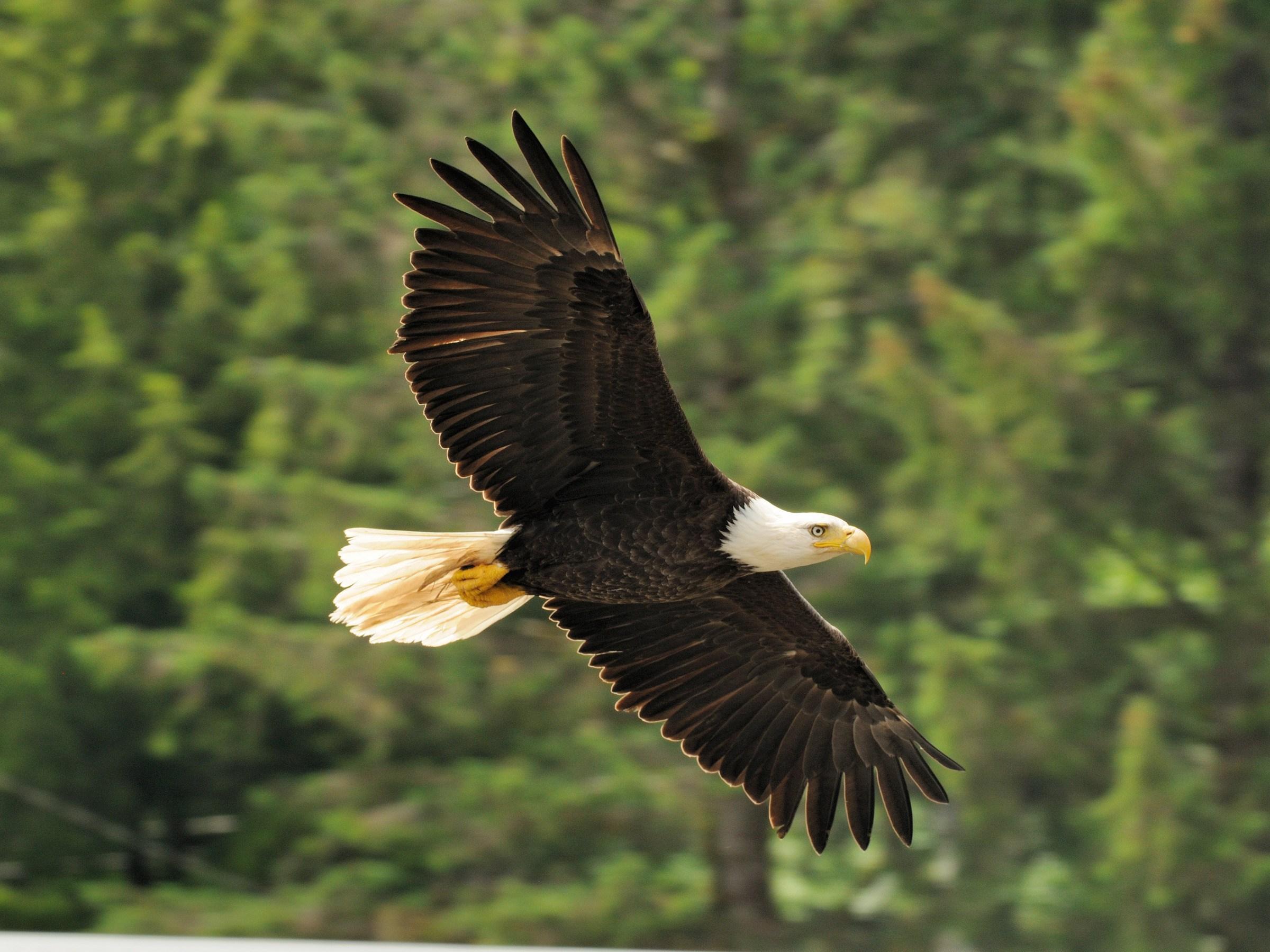 The Eagle Soaring