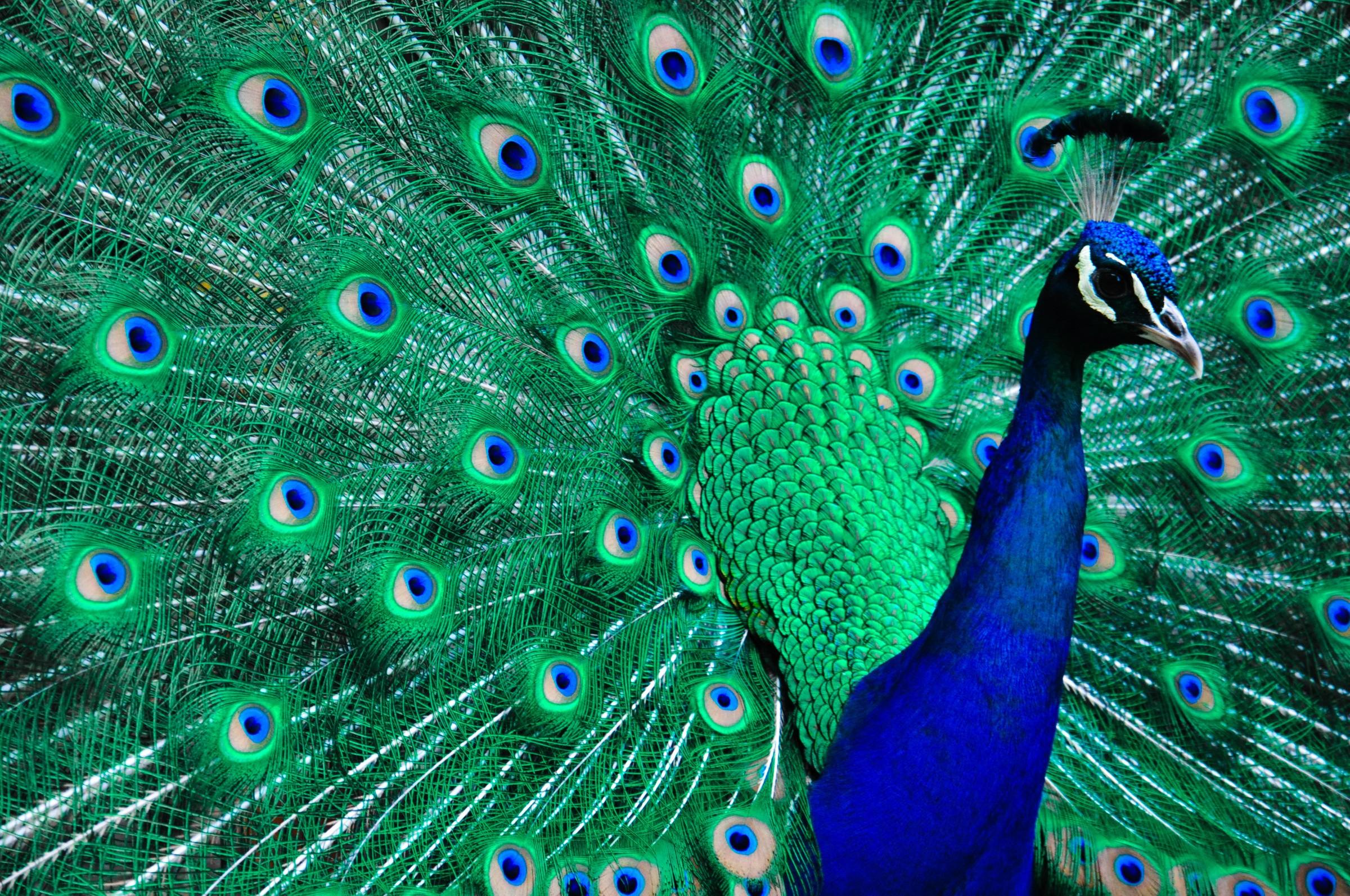 Accountant B, The Peacock on Social Media